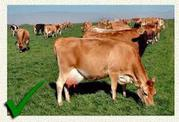 Jersey Milking Cows  For Sale +1 302-669-9403